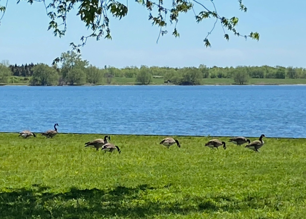 Geese on the lawn